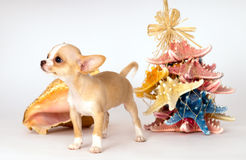 Beautiful Chihuahua puppy next to the toys Royalty Free Stock Photos