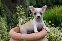 Beautiful chihuahua puppy. Small and beautiful chihuahua puppy Royalty Free Stock Image