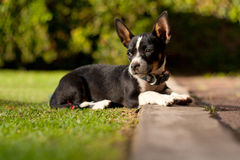 Beautiful Chihuahua summer dog portrait Stock Images