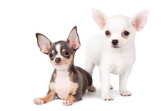 Beautiful chihuahuas Royalty Free Stock Photo