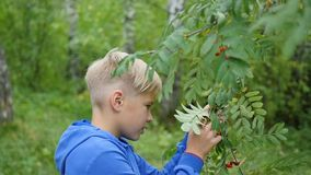 A beautiful child walking along an avenue in a park. Boy holding a bunch of Rowan. Outdoor Air stock video footage