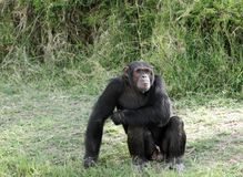 A beautiful Chimpanzee at Ol Pejeta Conservancy. Chimpanzees are the closest living relatives to humans Stock Images