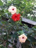 3 beautiful China rose are hanging on the branch of the tree. The flowers arere very beautiful. stock photos