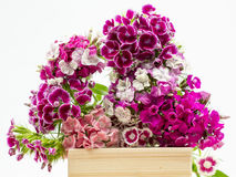 Beautiful chinese carnations (Dianthus chinensis) with details on a wooden surface Stock Images