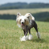 Beautiful Chinese Crested Dog running Royalty Free Stock Photography
