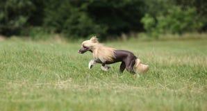 Beautiful Chinese Crested Dog running Stock Photos