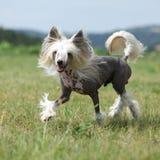 Beautiful Chinese Crested Dog running Stock Photo