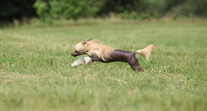 Beautiful Chinese Crested Dog running Stock Image