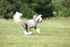 Beautiful Chinese Crested Dog running Stock Photography