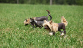Beautiful Chinese Crested Dogs running Royalty Free Stock Image