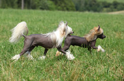 Beautiful Chinese Crested Dogs running Stock Photography