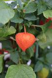 BEAUTIFUL CHINESE LANTERN POD Royalty Free Stock Image