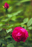 Beautiful Chinese rose Stock Photography