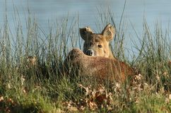 A beautiful Chinese Water Deer  Hydropotes inermis curled up resting in the reeds at the side of a lake. Stock Images