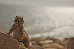 Beautiful Chipmunk Royalty Free Stock Images
