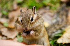 A beautiful chipmunk gnawing a seed in the park in the summer Royalty Free Stock Photography