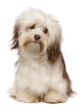 Beautiful chocolate Havanese dog Stock Photos