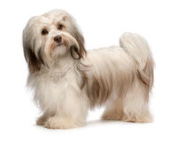 Beautiful chocolate Havanese dog Royalty Free Stock Photos