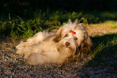 Beautiful chocolate havanese dog is resting on a forest path Stock Photo
