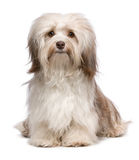Beautiful chocolate havanese dog Royalty Free Stock Image