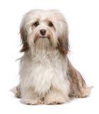 Beautiful chocolate havanese dog Royalty Free Stock Image