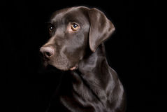 Beautiful Chocolate Lab on Black Stock Images
