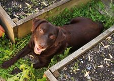 Beautiful Chocolate Labrador Retriever relaxing in garden amongst raised beds Stock Photos