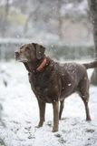 Beautiful Chocolate Labrador in Snow Stock Image