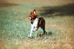 Beautiful chocolate puppy border collie runs gallop on a blurred background. Happy dog for a walk Royalty Free Stock Photography