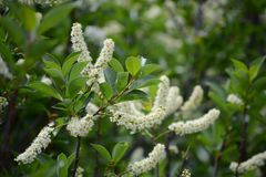 A chokecherry bush in full bloom with white flowers. A beautiful chokecherry bush in bloom with delicate spinals full of tiny while flowers with yellow centers royalty free stock images