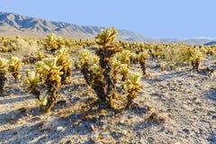 Beautiful Cholla Cactus Garden Stock Image