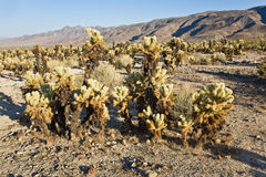 Beautiful Cholla Cactus Garden in Joshua Treer national park in Royalty Free Stock Photos