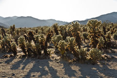 Beautiful Cholla Cactus Garden in Joshua Treer national park in Stock Photo