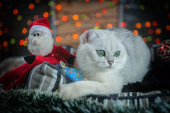 Beautiful Christmas British cat Stock Image