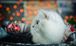 Beautiful Christmas British cat. Royalty Free Stock Photos