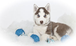 Beautiful Christmas Husky Puppy Royalty Free Stock Photo
