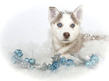 Beautiful Christmas Husky Puppy Royalty Free Stock Photography