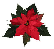 Beautiful Christmas Poinsettia. A beautiful red Christmas Poinsettia with clipping path Stock Images