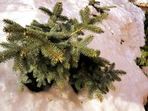Beautiful Christmas tree and blue spruce in a snowdrift on a background of snow in winter or spring royalty free stock images
