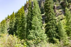 Beautiful Christmas tree in the mountains in summer.  Royalty Free Stock Photos