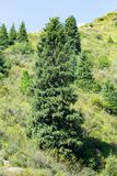 Beautiful Christmas tree in the mountains in summer.  Royalty Free Stock Image