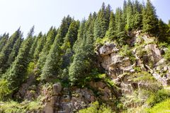 Beautiful Christmas tree in the mountains in summer.  Royalty Free Stock Photography