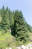 Beautiful Christmas tree in the mountains in summer.  Royalty Free Stock Photo