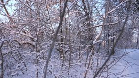 Beautiful Christmas winter forest with white snow. Beautiful winter landscape. In park in winter frost, trees and. Branches in snow. Slow motion stock video