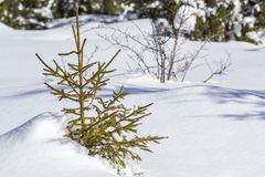 Beautiful Christmas winter landscape. Small young green tender fir tree spruce growing alone in deep snow on mountain slope on. Cold sunny frosty day on clear royalty free stock photo