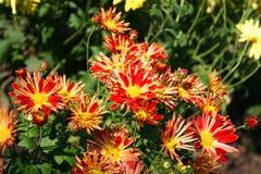 Beautiful chrysanthemas. Flowers in the autumn garden Stock Photos