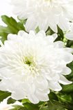 Beautiful chrysanthemum Stock Photography