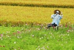 Beautiful Chrysanthemum. Scarecrow with pink Chrysanthemum and farmland Stock Photos