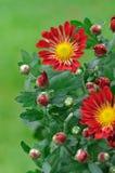 Beautiful Chrysanthemum Stock Images