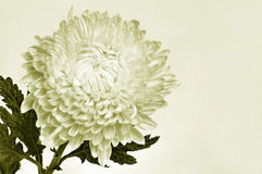 Beautiful Chrysanthemum stock photos